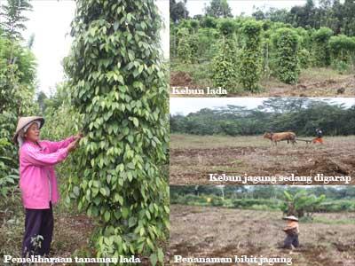 Modal CU Pancur Kasih untuk Menggarap kebun Lada dan Jagung