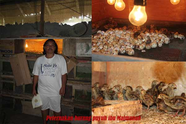 Maimunah: Menggunakan Modal dari CU untuk Ternak Burung Puyuh